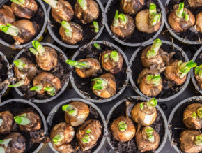 Bulb season commences with biggest sales rush at Wyevale Garden Centres