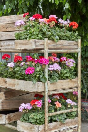 Advice for retailers – how to increase sales of pelargoniums