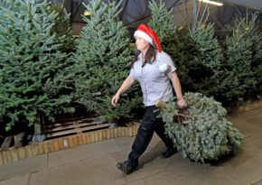 Wyevale Garden Centres prepared for Christmas tree sales surge this weekend